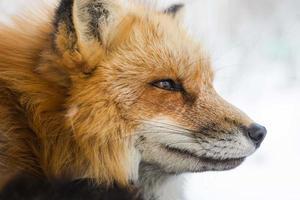 close up foto de raposa