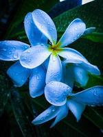 plumeria branca flor