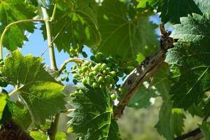 uvas ao sol
