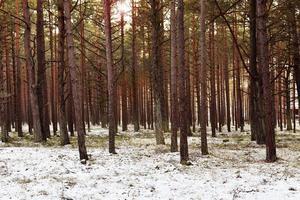 floresta de pinheiros invernal foto