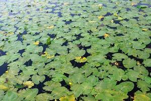 nenúfares em uma lagoa foto