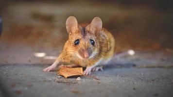 rato doméstico no chão