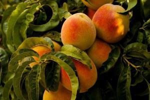 frutos de pêssego na árvore