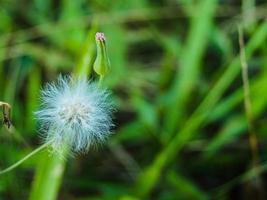 flor de erva daninha dente de leão foto