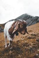fotografia de foco raso de cabra na colina foto