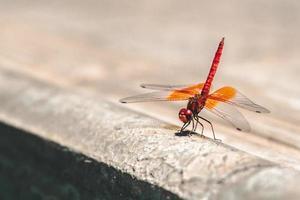 fotografia superficial de libélula vermelha e laranja