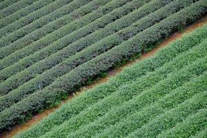 fileiras de colheitas