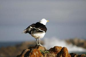gaivota nas rochas