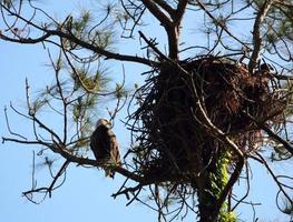 águia careca no ninho