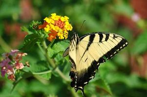 borboleta tigre rabo de andorinha foto