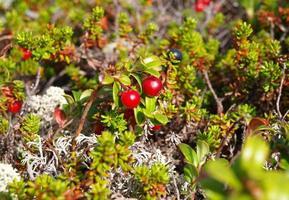 cranberries vermelhos maduros, macro