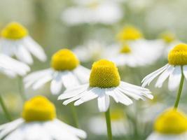 camomila alemã em plena floração