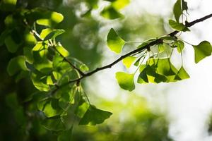 galho de árvore de ginkgo biloba com folhas foto