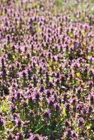 lamium purpureum foto