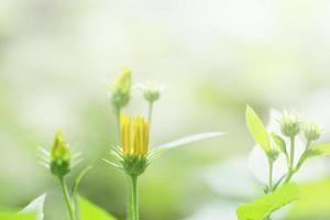 flor de alcachofra de jerusalém foto