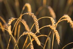 espigas de ouro de trigo sob o céu