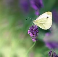 borboleta em flor de lavanda foto