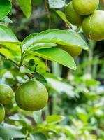verde limão fresco na árvore, limão tailandês. foto