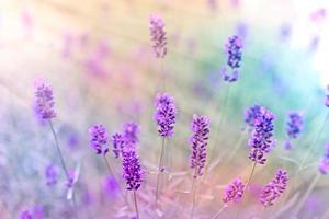 flores de lavanda iluminadas por raios de sol foto