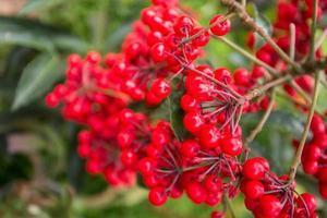 cereja vermelha foto
