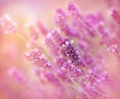 flor de lavanda - closeup foto