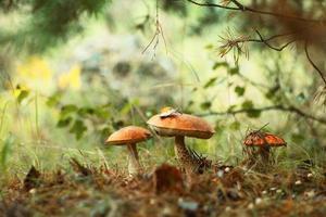 cogumelos bolete de tampa laranja crescendo na floresta verde