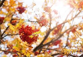 galhos de árvores rowan no outono
