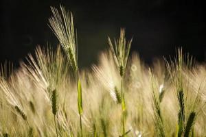campo de trigo dourado com foco seletivo foto