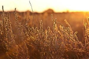 arbusto dourado foto