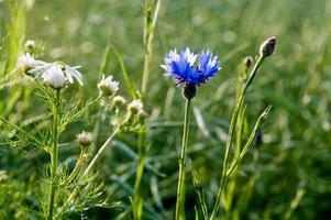 cornflowers foto