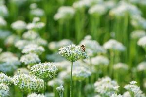 flor de alho-poró branco foto