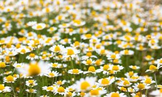 camomilas florescendo
