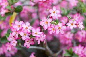 flores rosa do deserto