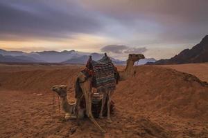 camelos no fundo do deserto e montanhas. Egito.