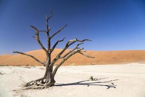 árvore de espinho de camelo - deadvlei foto
