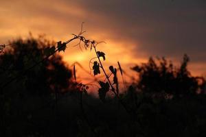 silhueta de folhas de uva ao pôr do sol