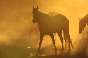 cavalos em pó foto