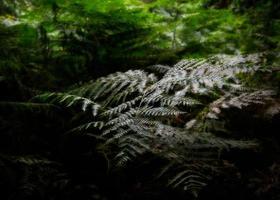 samambaia da floresta foto