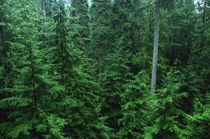 densa floresta de pinheiros foto