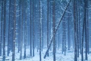 floresta enevoada de coníferas nevadas