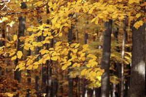 floresta outonal de faias