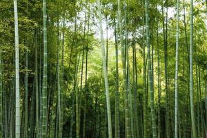 floresta de bambu selvagem