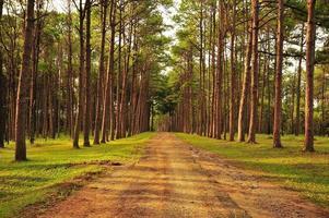 florestas de pinheiros de outono