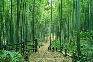floresta de bambu