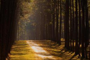 floresta de pinheiros ao pôr do sol foto