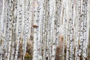 floresta de bétula