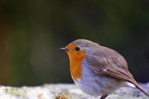 pássaros da floresta na bulgária foto