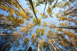 floresta de bétula com lente grande angular