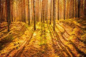 amanhecer na velha floresta de verão