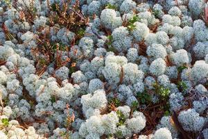 líquen cladonia stellaris no chão na floresta